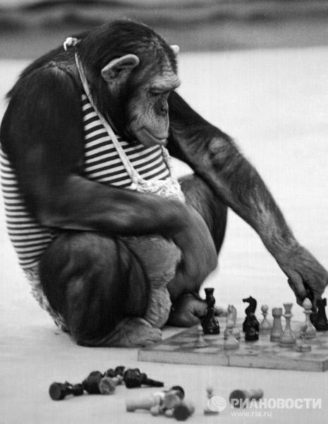 singe jouant aux echecs